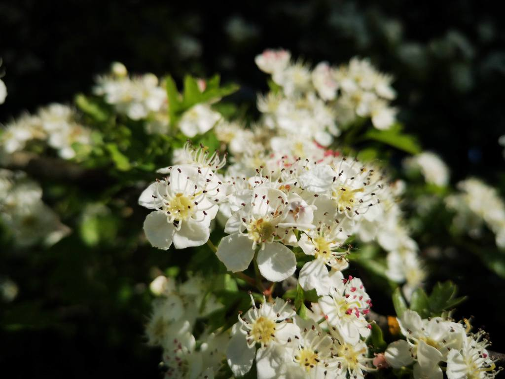 close up of hawthorn blossoms